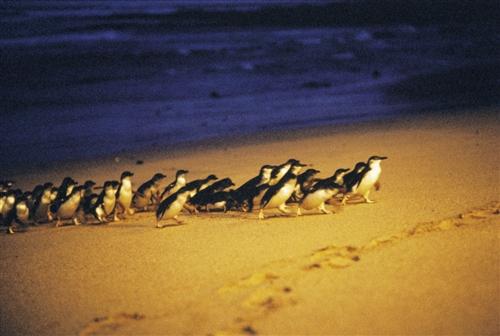 フィリップ島・ペンギンパレード