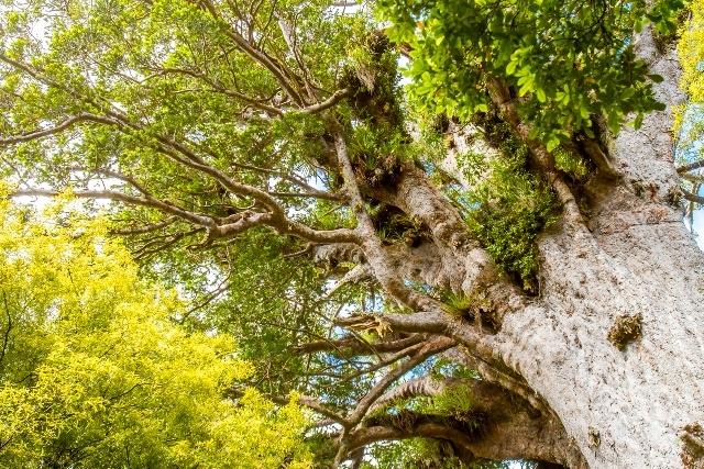 カウリの森(ワイポウア森林保護区)