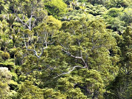 カウリの森林 たっぷり ワイポウア ・フォレスト (日本語ガイドツアー)