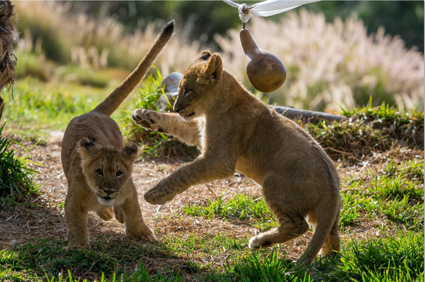 サンディエゴ動物園/サファリパーク 1日券