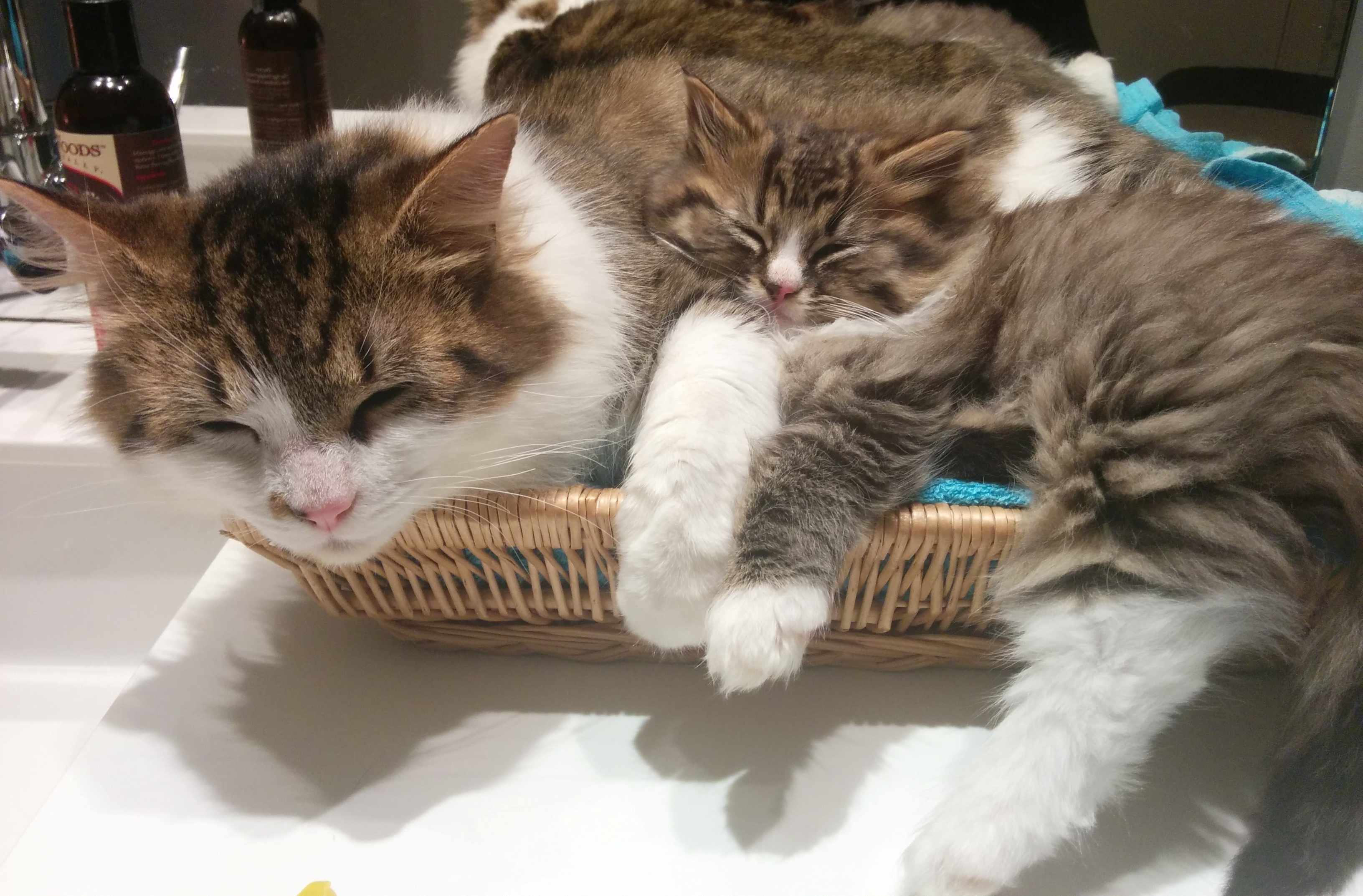 バンクーバーで大人気!猫カフェツアー❤(´ω`*)