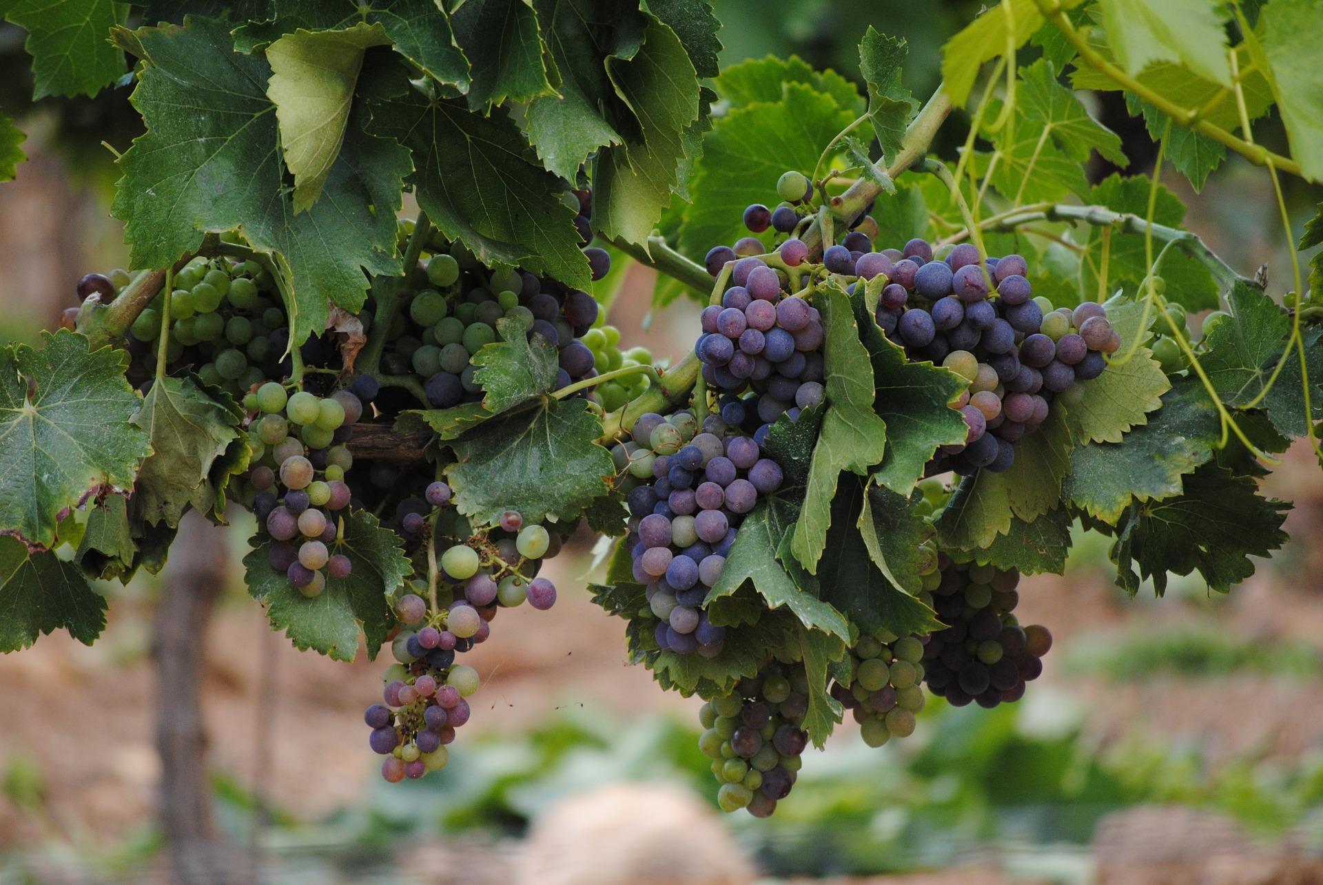 「ワインの発祥の地」バージニア・ワイナリー ツアー