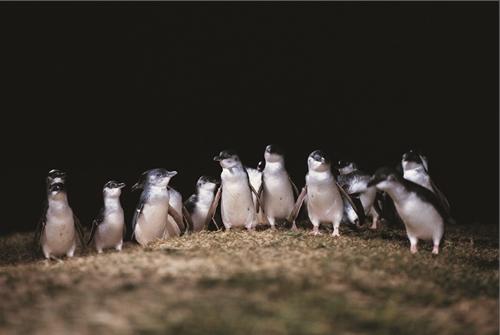 午後出発!野生のペンギンに出会うペンギンパレード