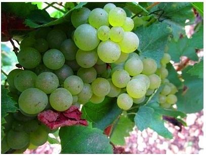 [みゅう]ワイン農家で昼食 世界遺産ヴェズレーと銘酒白ワインの里シャブリ1日観光