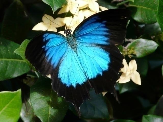 幸運を呼ぶユリシス蝶々