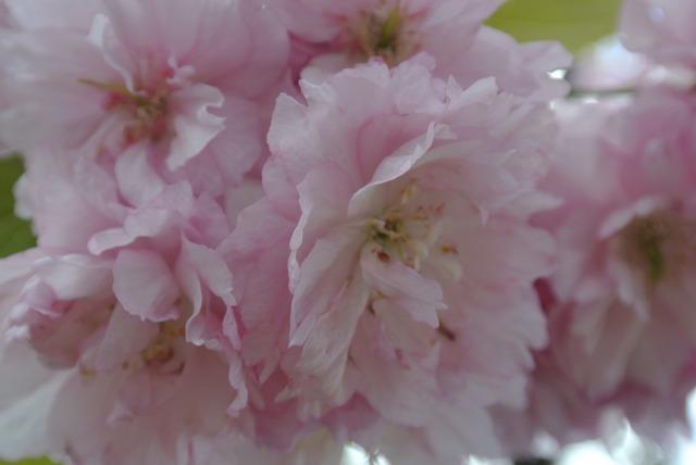 ルーラの桜(10月の特別期間のみ)