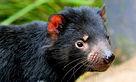 絶滅危機にさらされているタスマニアンデビルも見れます.