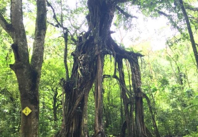 有名なガジュマルの木