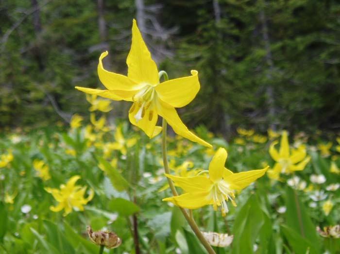 ロッキーのカタクリの花
