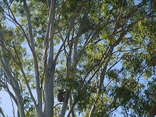 コアラがこちらを見てる!?