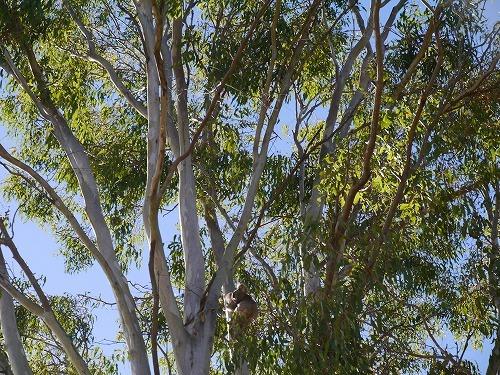 コアラを見付けたらしっかり写真撮影を!
