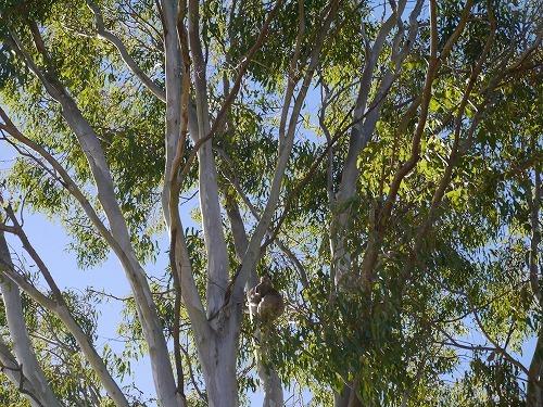 ぬいぐるみでは無いです。野生のコアラです。