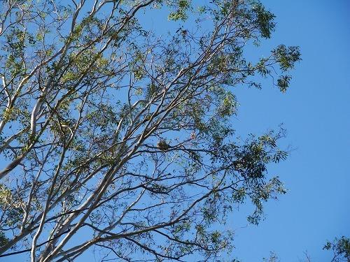 こんなに高い枝先にもコアラが・。