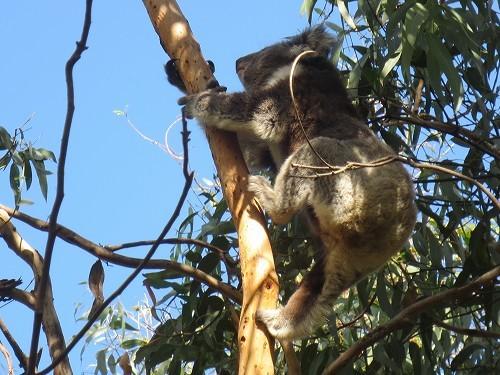 ケネットリバーで野生のコアラ探しです