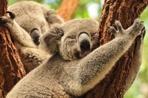 コアラも見れます