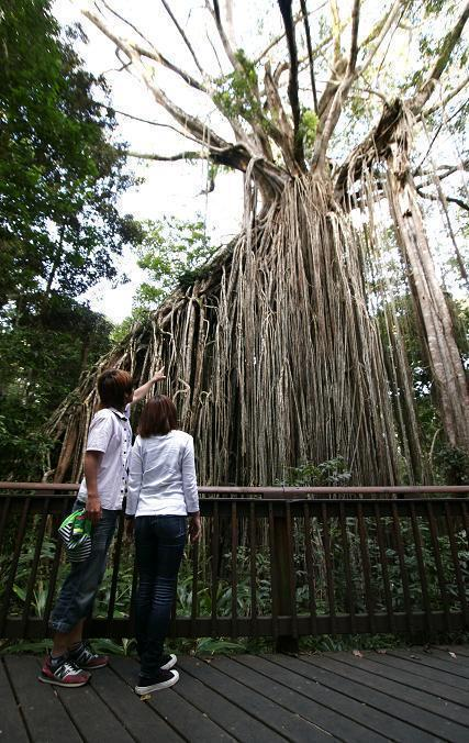 こんなに大きい締め殺しのイチジクの木