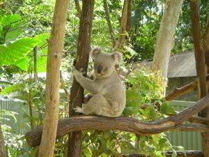 トロピカルズーのかわいいコアラ
