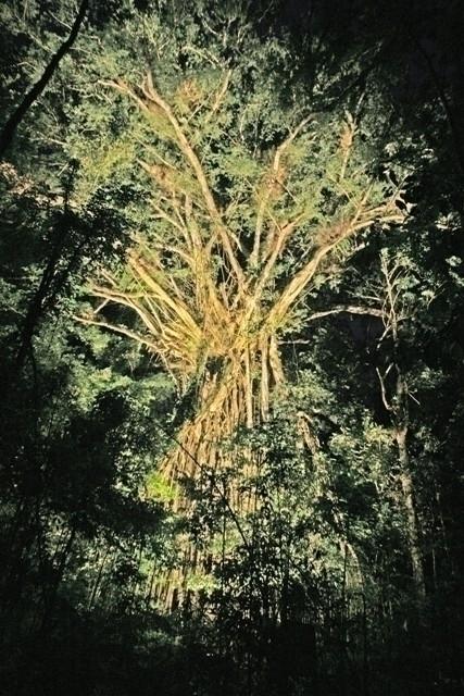 暗闇に浮かび上がる締め殺しのイチジクの木