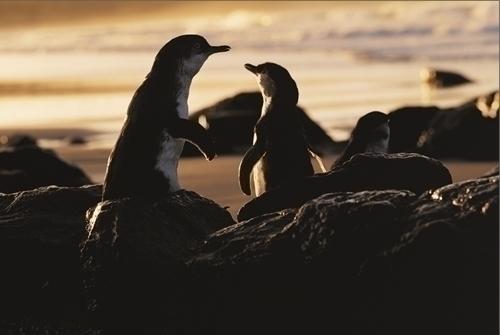 親子のペンギンも