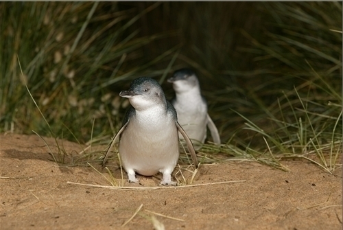 フェアリー・ペンギン