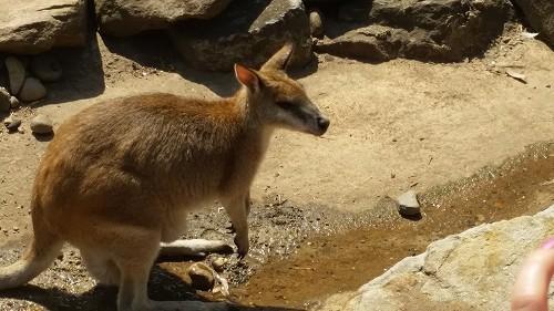 オーストラリア固有の動物といえば!のカンガルー
