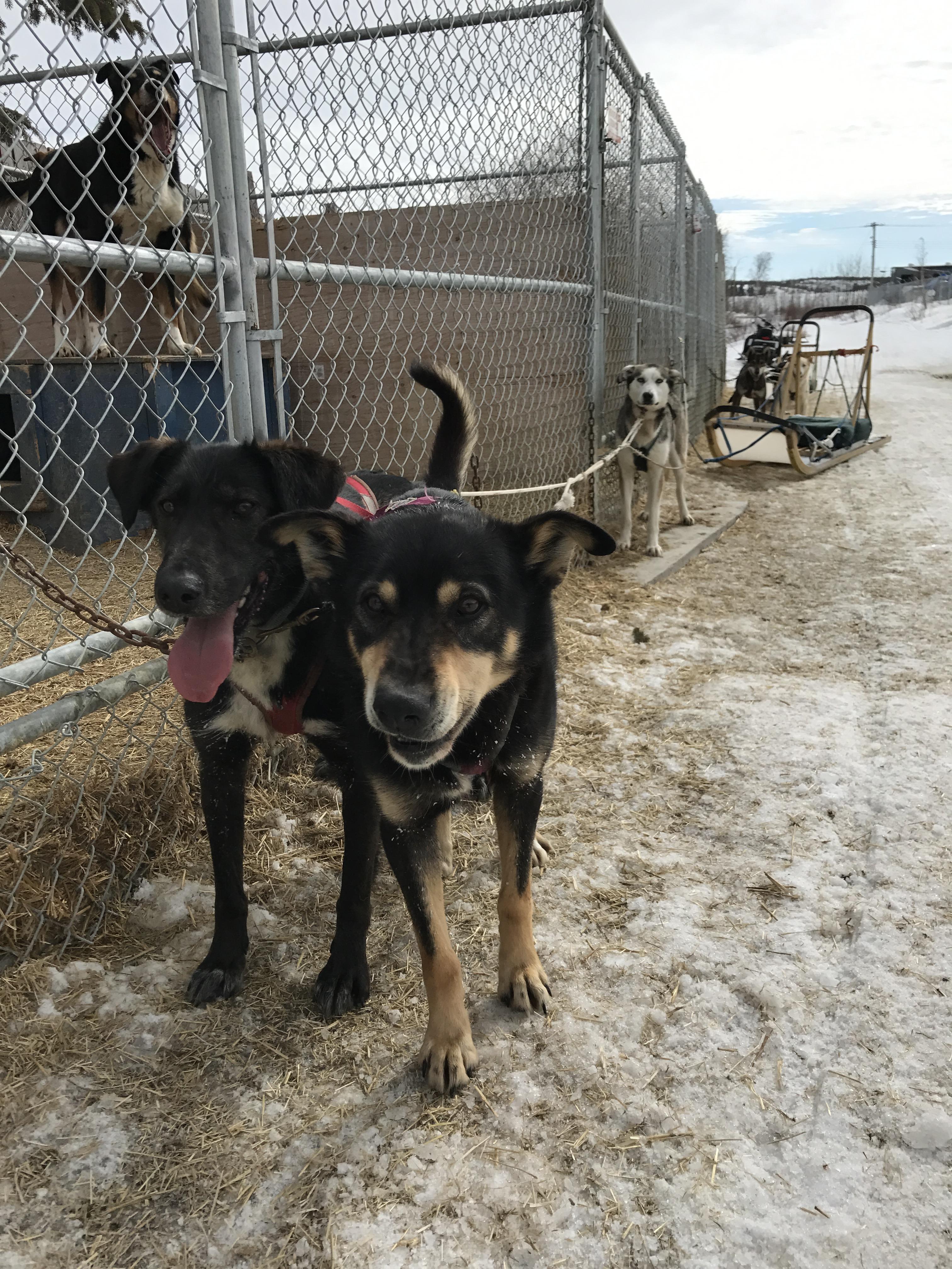 走るのが大好きなアラスカンハスキー犬たちは寒くてもとっても元気!