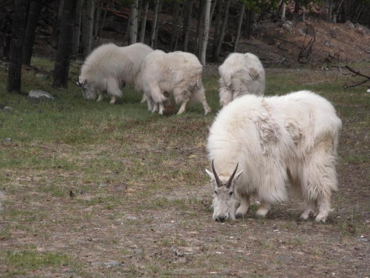 オプショナルツアー ユーコン野生動物保護区ツアー。日本では見られない動物たちに会えるかな?