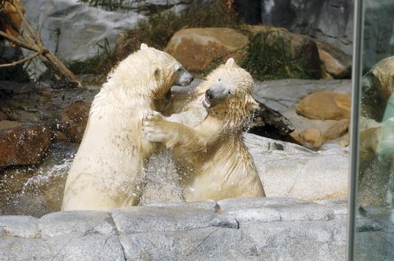 迫力の白熊