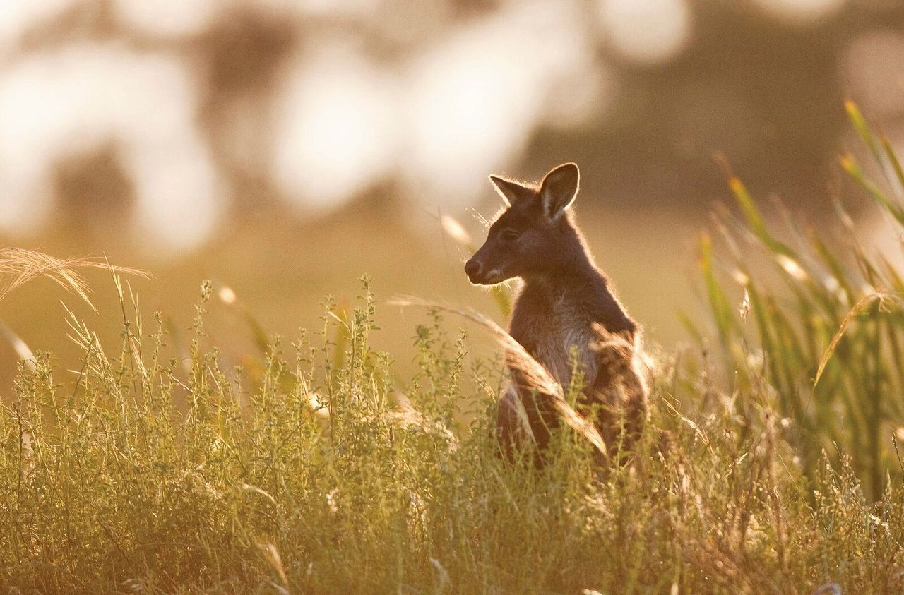 野生のカンガルーを見つけることができるかも?