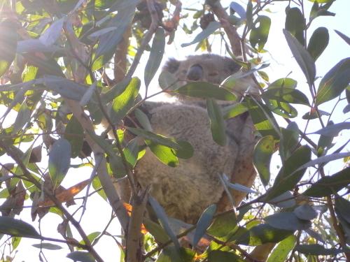野生のコアラを発見