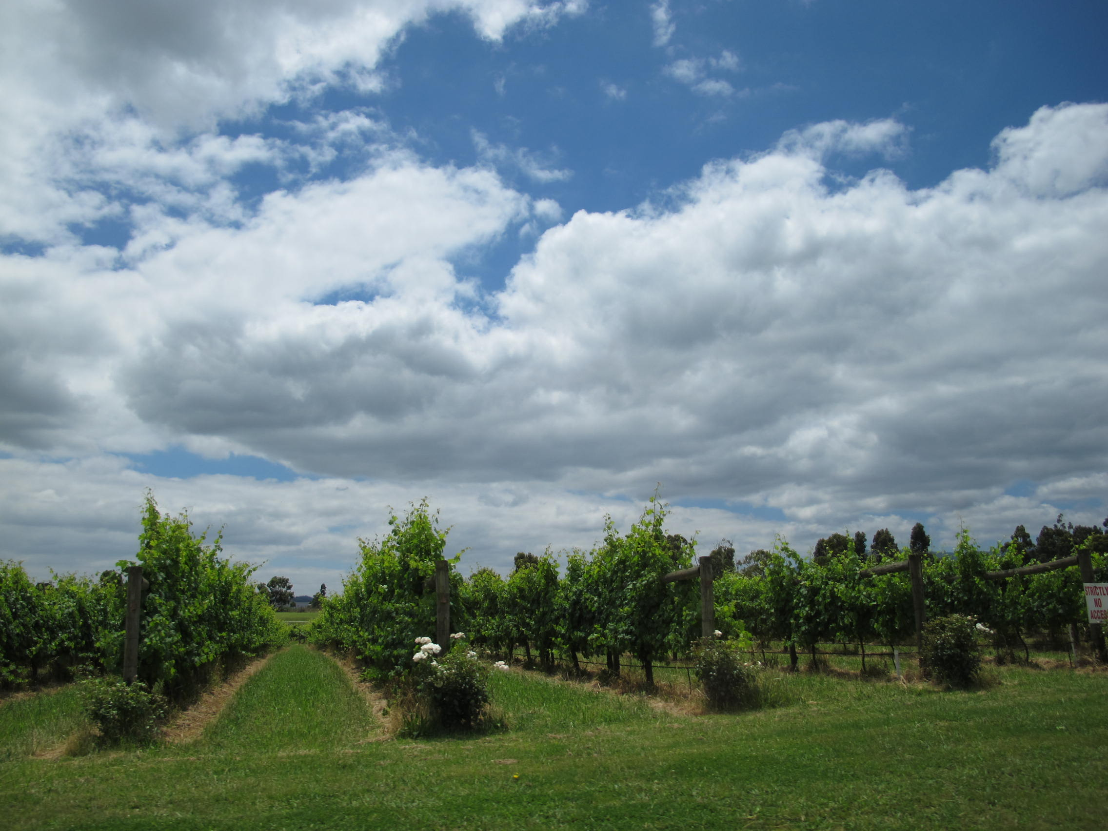ワイン畑には必ずと言っていいほどバラが一緒に植えてあります。何故なのか?はぜひツアー中に答えを探してみてください。