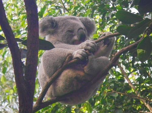 オーストラリアのアイコン、コアラ