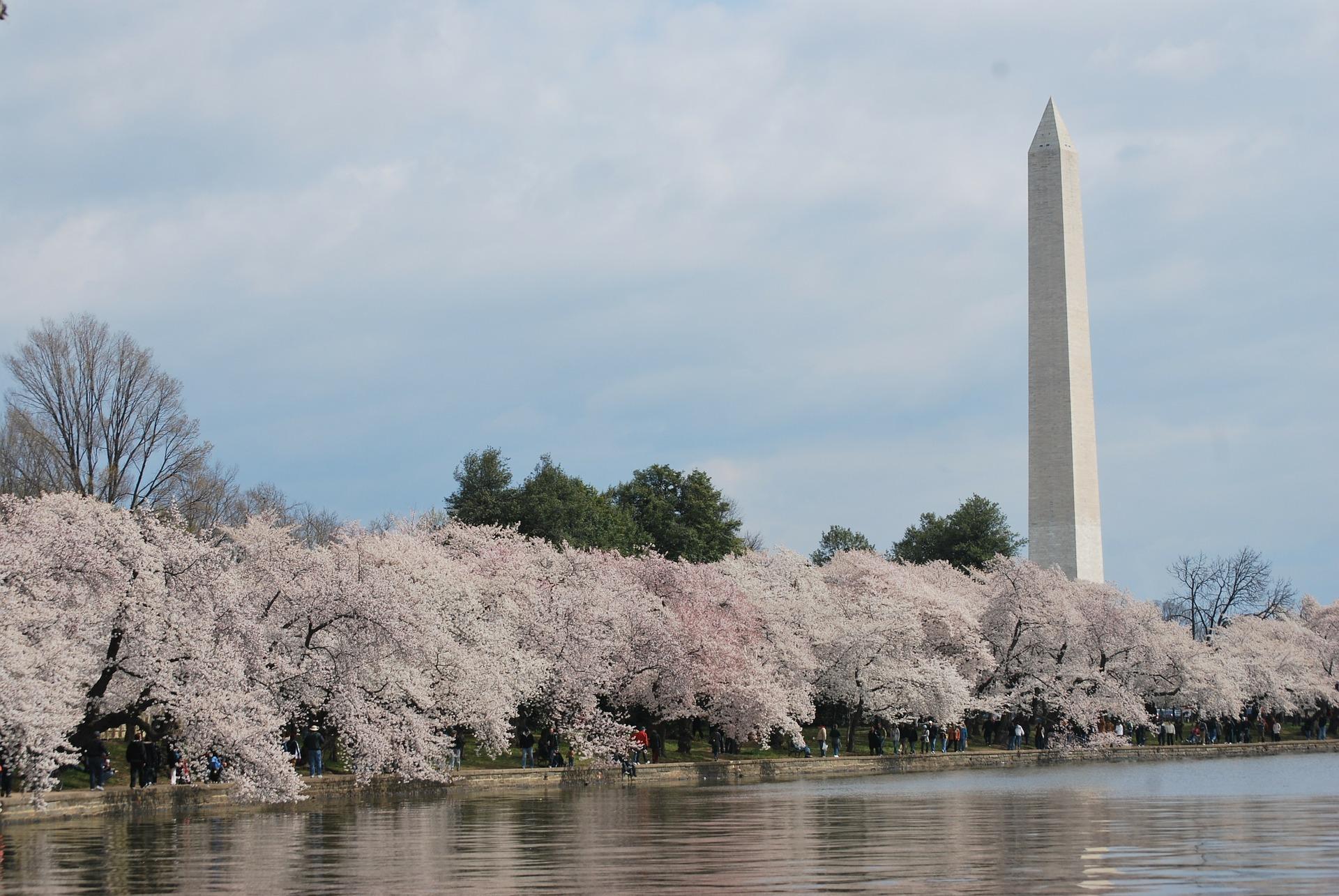 桜並木 ワシントン記念塔