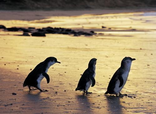 ペンギンたちが海から上がってきます