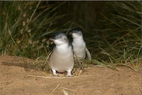 フェアリーペンギンという種類