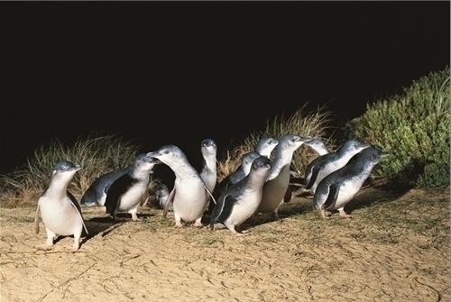 仲間と巣に向かうぽペンギン