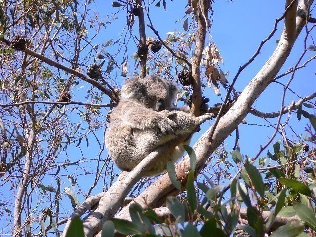 野生のコアラを発見!