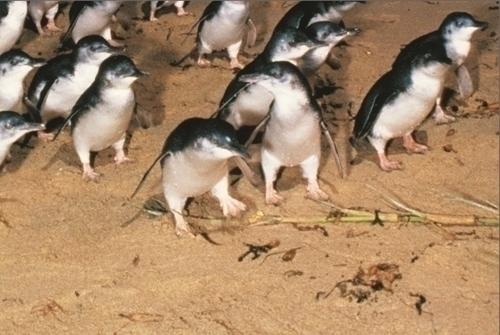 可愛いペンギン