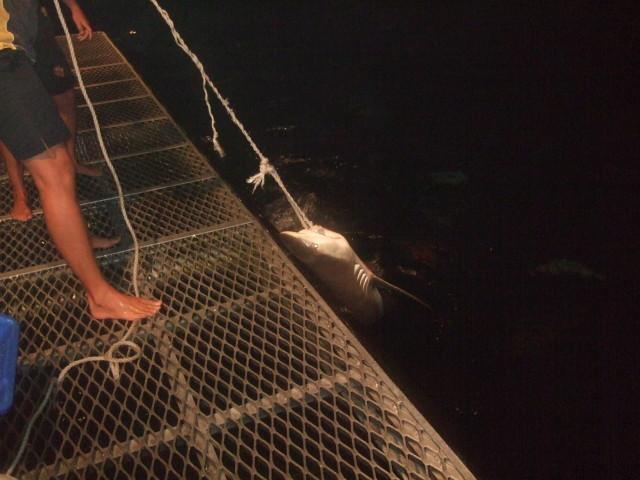 運が良ければサメの餌付けを見ることもできます