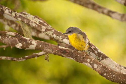 ラミントンは野鳥の宝庫・小さなロビンも大人気