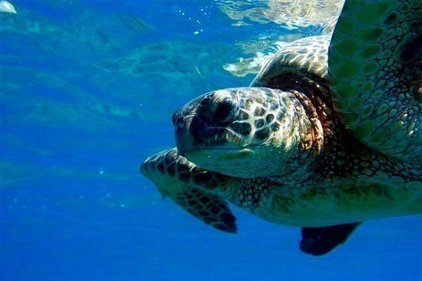 野生の海亀にドッキリ!