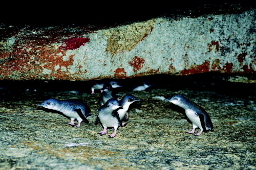 夜のツアーでは、フェアリーペンギンたちが見られます(別途料金)