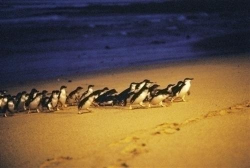 いっせいに海からあがるペンギン