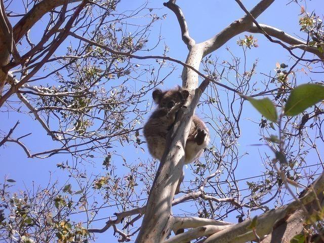 野生のコアラを探します