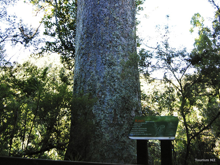 樹齢2000年にもなる巨木がカウリの木です