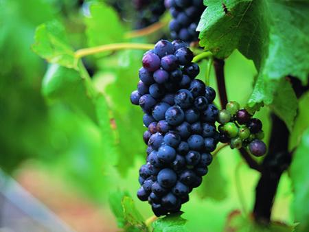 ピノノアーの葡萄
