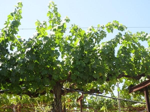 この葡萄畑から、どんなワインが生まれるのでしょうか?
