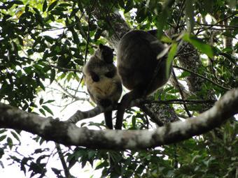 これがさらに珍しい木登りカンガルー これはオージーでも見たことのある人は稀ですよ!!