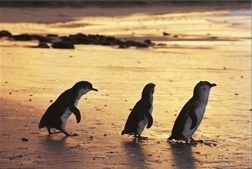 よちよち歩きのペンギン