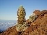 高度2100m:雲海と銀剣草